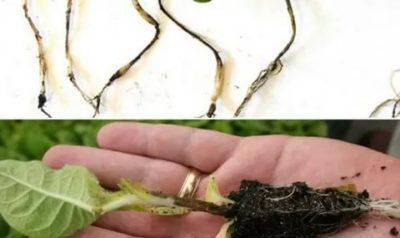как избавиться от черной ножки на рассаде