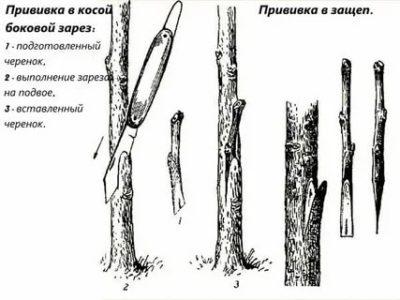 сроки прививки плодовых деревьев весной в подмосковье