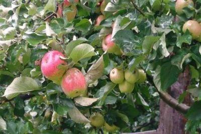 сорт яблони яблочный спас