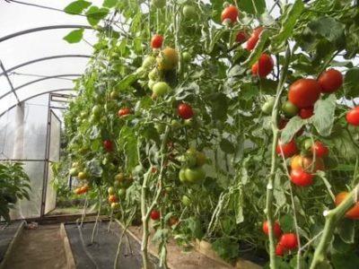 что такое полудетерминантный сорт томатов