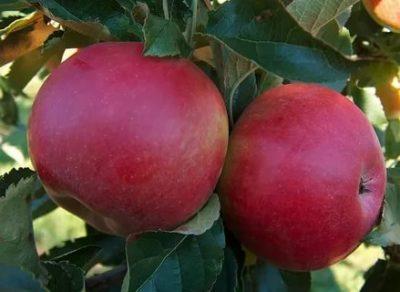 сорт крупных яблок
