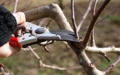 когда обрезать сухие ветки у яблони