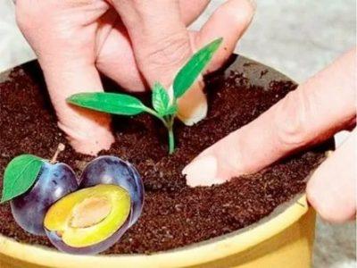 как посадить косточку сливы