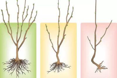 как правильно выбрать саженцы плодовых деревьев