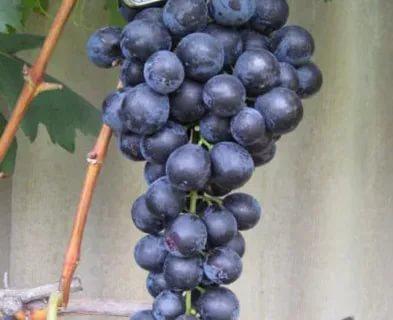 виноград страшенский описание сорта