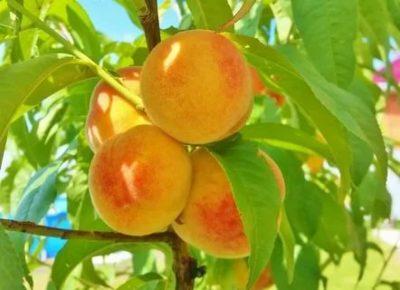 сорт персика ветеран