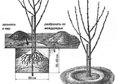 как посадить черешню весной в подмосковье