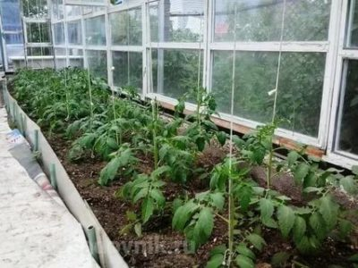 высадка рассады помидор в теплицу из поликарбоната