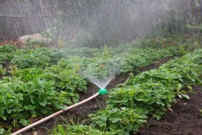 как часто поливать клубнику