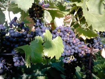 сорт винограда регент