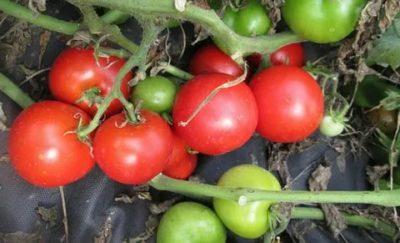 сорта помидоров для севера
