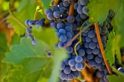 сорт винограда родина