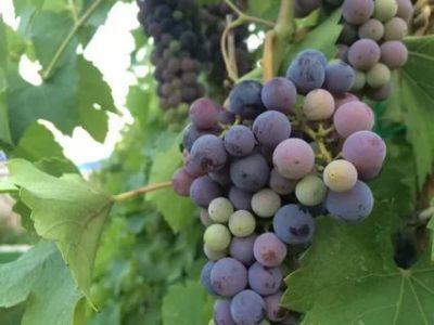 сорт винограда магарач