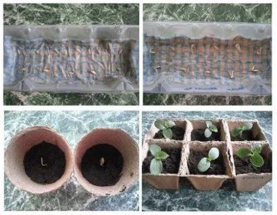 надо ли замачивать семена огурцов перед посадкой на рассаду