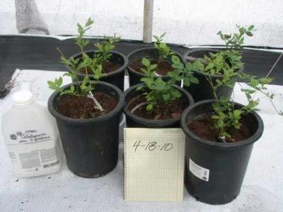 голубика выращивание из семян