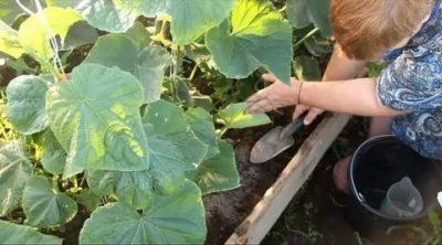 чем удобрять огурцы в открытом грунте