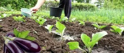 как поливать баклажаны в открытом грунте