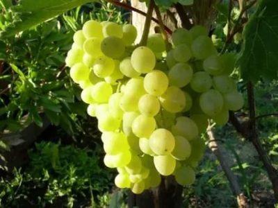 сорт винограда тукай