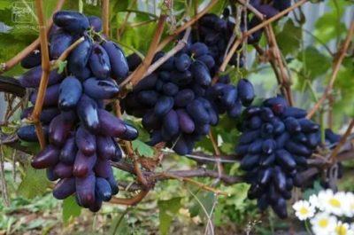 сорт винограда ромео
