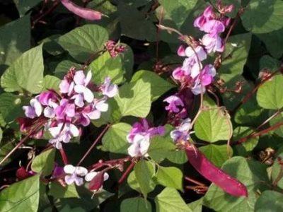 гиацинтовые бобы выращивание из семян когда сажать