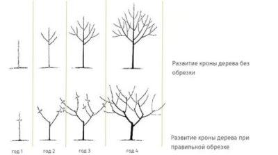 как правильно обрезать плодовые деревья весной