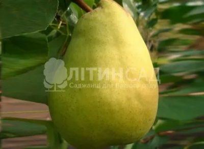 крупноплодные сорта груш