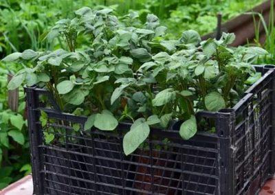 посадка картофеля рассадой