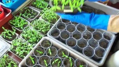 пикировка томатов в апреле