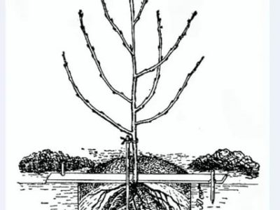 посадка вишни весной саженцами