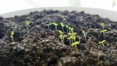 сколько всходят семена земляники