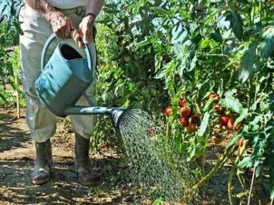 как часто поливать помидоры в открытом грунте