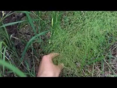 хвощ полевой как избавиться на огороде