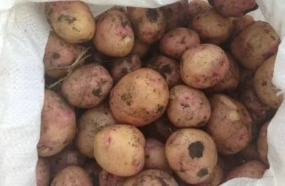 картофель рамона описание сорта