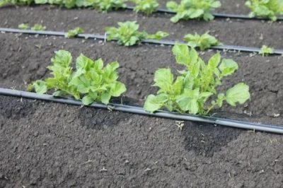 капельный полив для картофеля