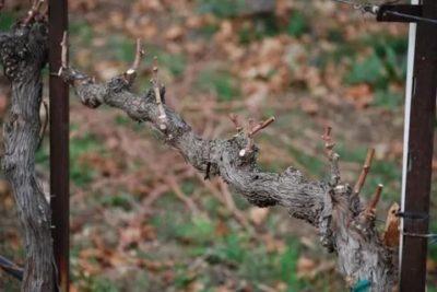 как обрезать годовалый виноград