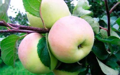 имрус сорт яблок