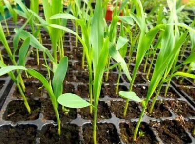 посадка кукурузы рассадой
