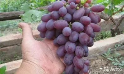 сорт винограда марадона