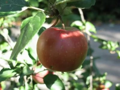 зимние сорта яблонь для урала