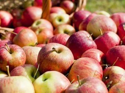 кислые сорта яблок