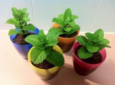 мята перечная выращивание из семян