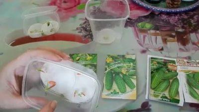 для проверки всхожести семян огурцов