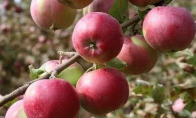 триплоидные сорта яблонь