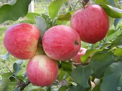 сорта яблонь для свердловской области