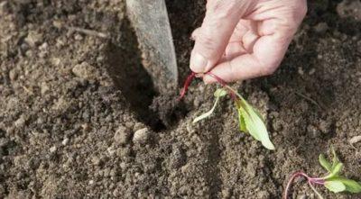 посадка свеклы в открытый грунт рассадой