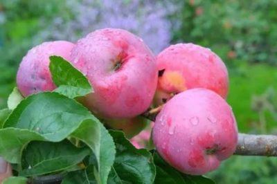 позднезимние сорта яблонь