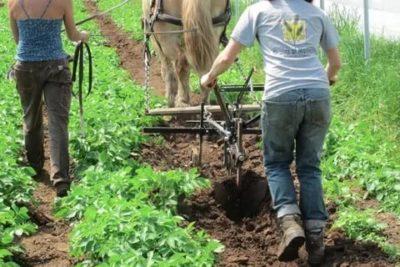 как правильно окучивать картофель