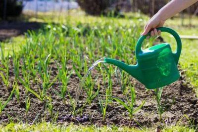 как поливать чеснок летом