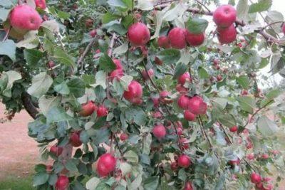 серебряное копытце сорт яблони