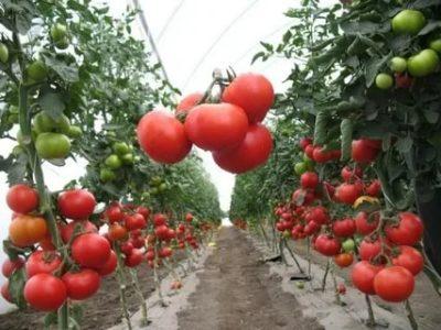 какие сорта помидор самые урожайные для теплиц на урале
